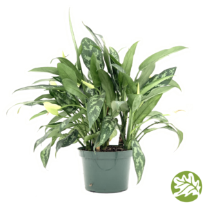 "AGLAONEMA Maria-Emerald Beauty 6"" pot"